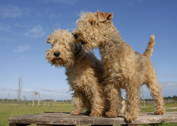 Lakeland Terrier Dogs And Puppies