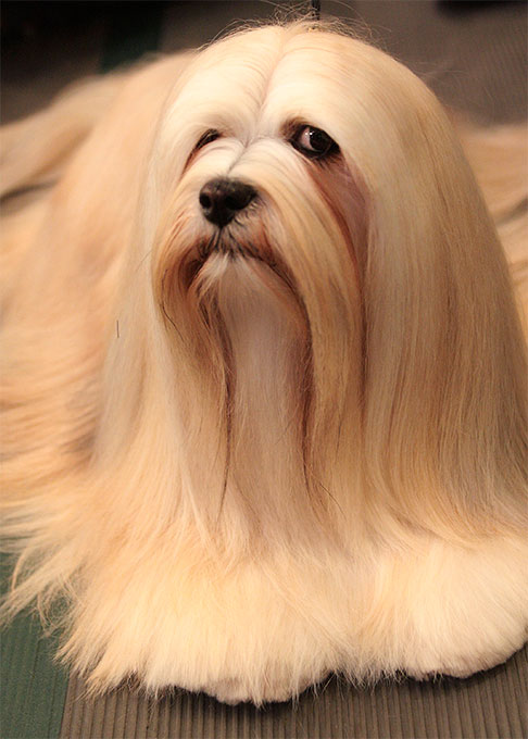 Lhasa Apso Dog Breed Information Pictures Characteristics