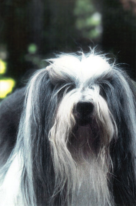 Lhasa Apso Dog Breed Picture