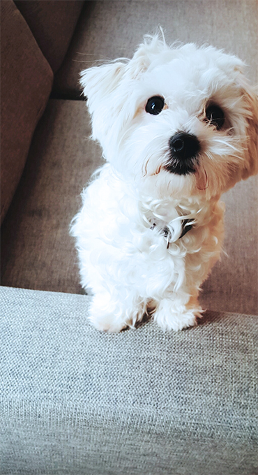 Maltipoo Dog Breed Information Pictures Characteristics Facts