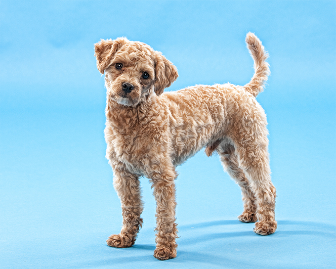 Maltipoo Dog Breed Information, Pictures, Characteristics & Facts ...