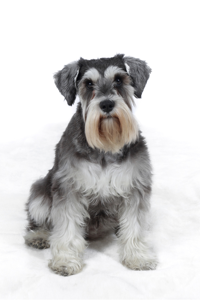 miniature schnauzer dog breed information pictures characteristics