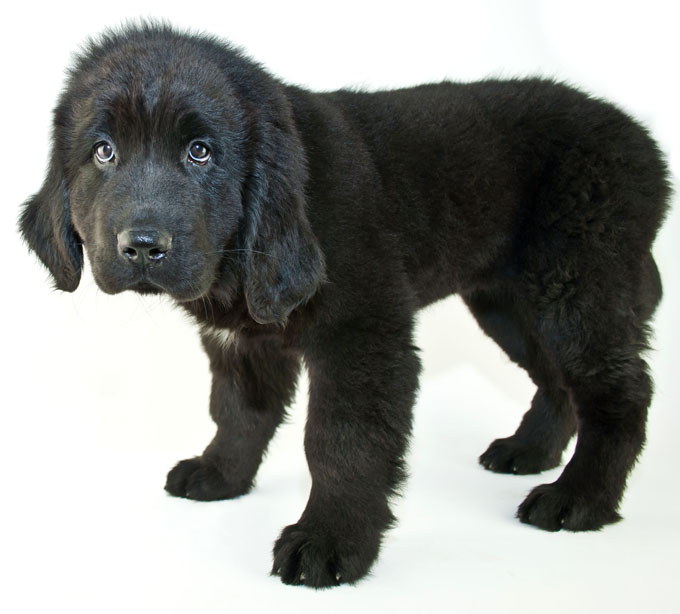 newfoundland dog adoptions
