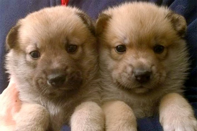 Norwegian Buhund Dog Breed Information Pictures Characteristics