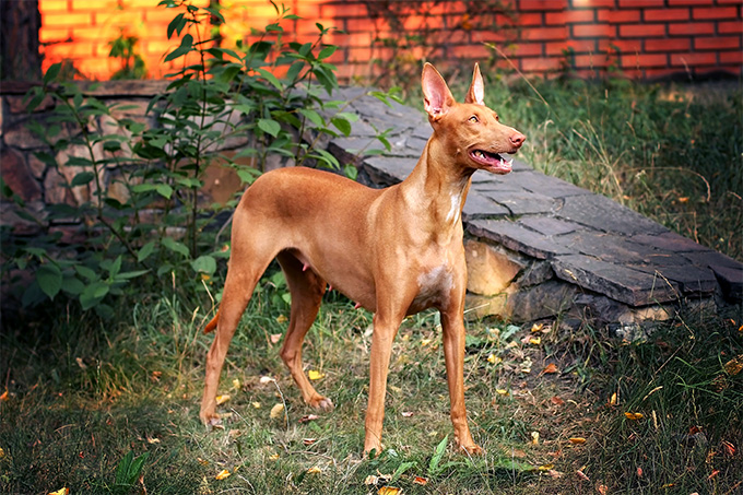 Pharaoh Hound Dog Breed Picture