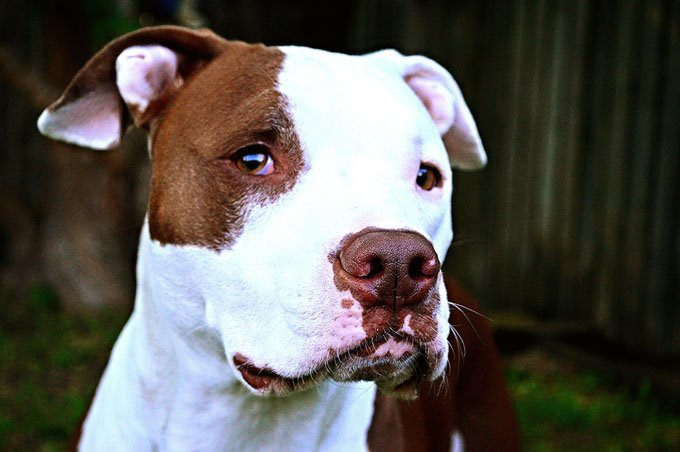 American Pit Bull Terrier Dog Breed Information, Pictures ...