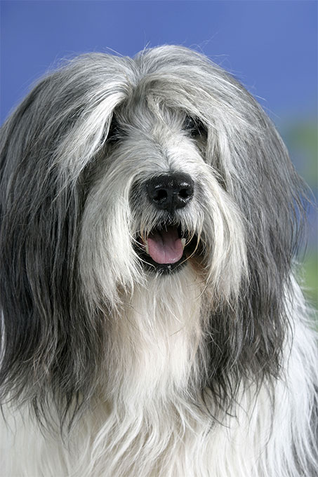 Polish Lowland Sheepdog Dog Breed Picture