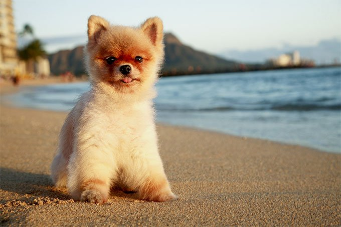 Pomeranian Dog Breed Information, Pictures, Characteristics & Facts ...