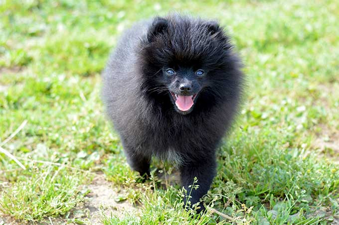 Pomeranian dog breed information pictures characteristics facts descended from large sled dog breeds the now tiny pomeranian has a long and interesting history the foxy faced dog nicknamed the little dog who thinks thecheapjerseys Image collections