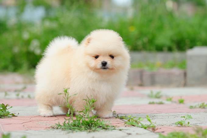 Where can i find a pomeranian puppy