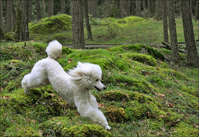Poodle Dog Breed Picture
