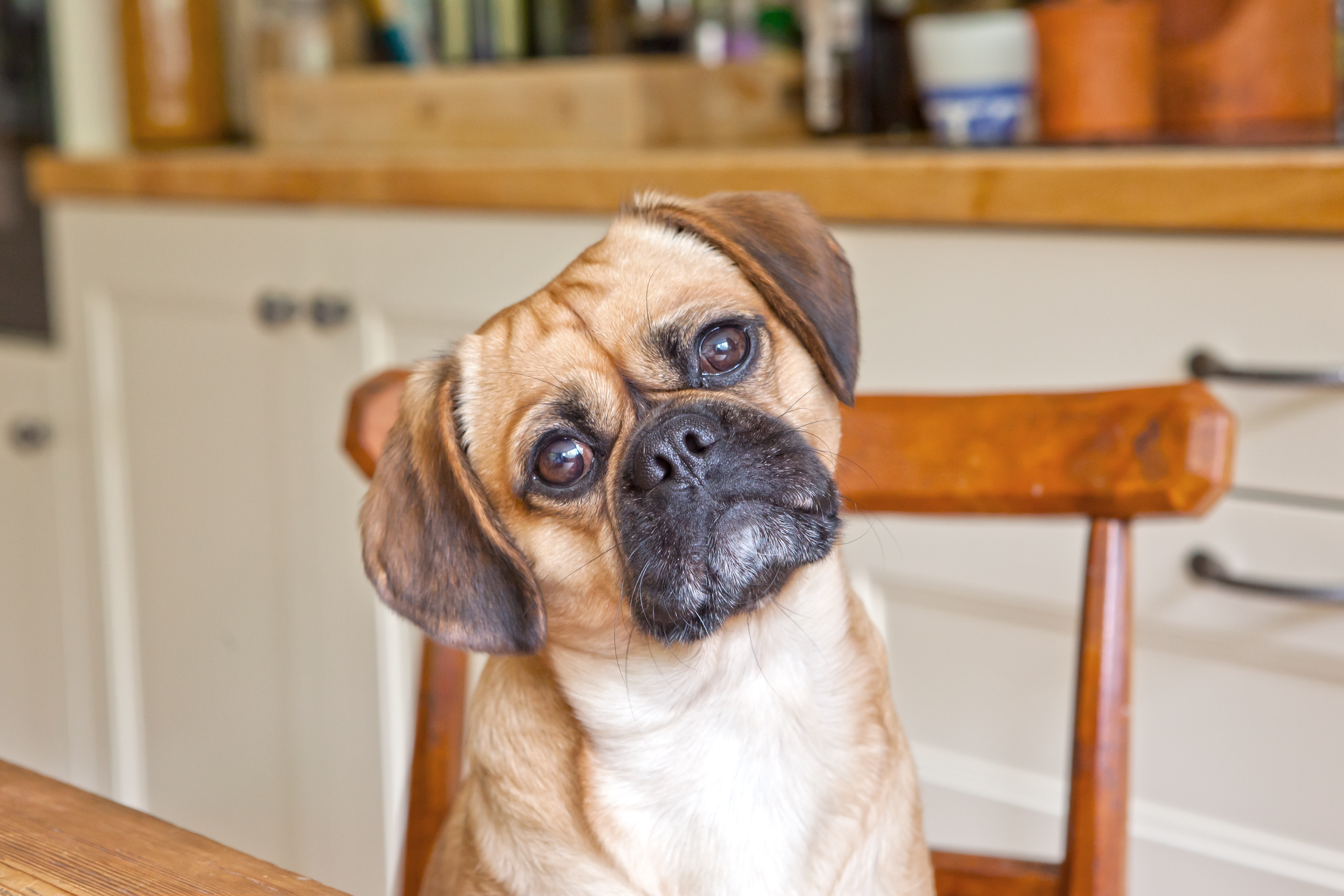 Pugalier Mixed Dog Breed Pictures