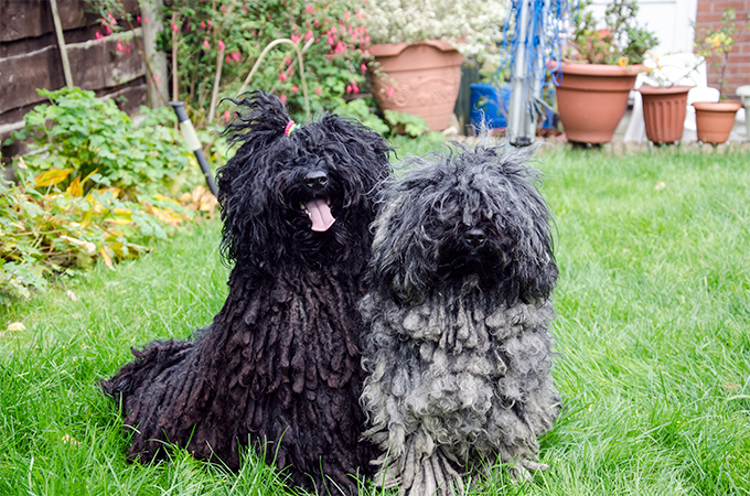 Puli Dog Breed Information, Pictures, Characteristics ...