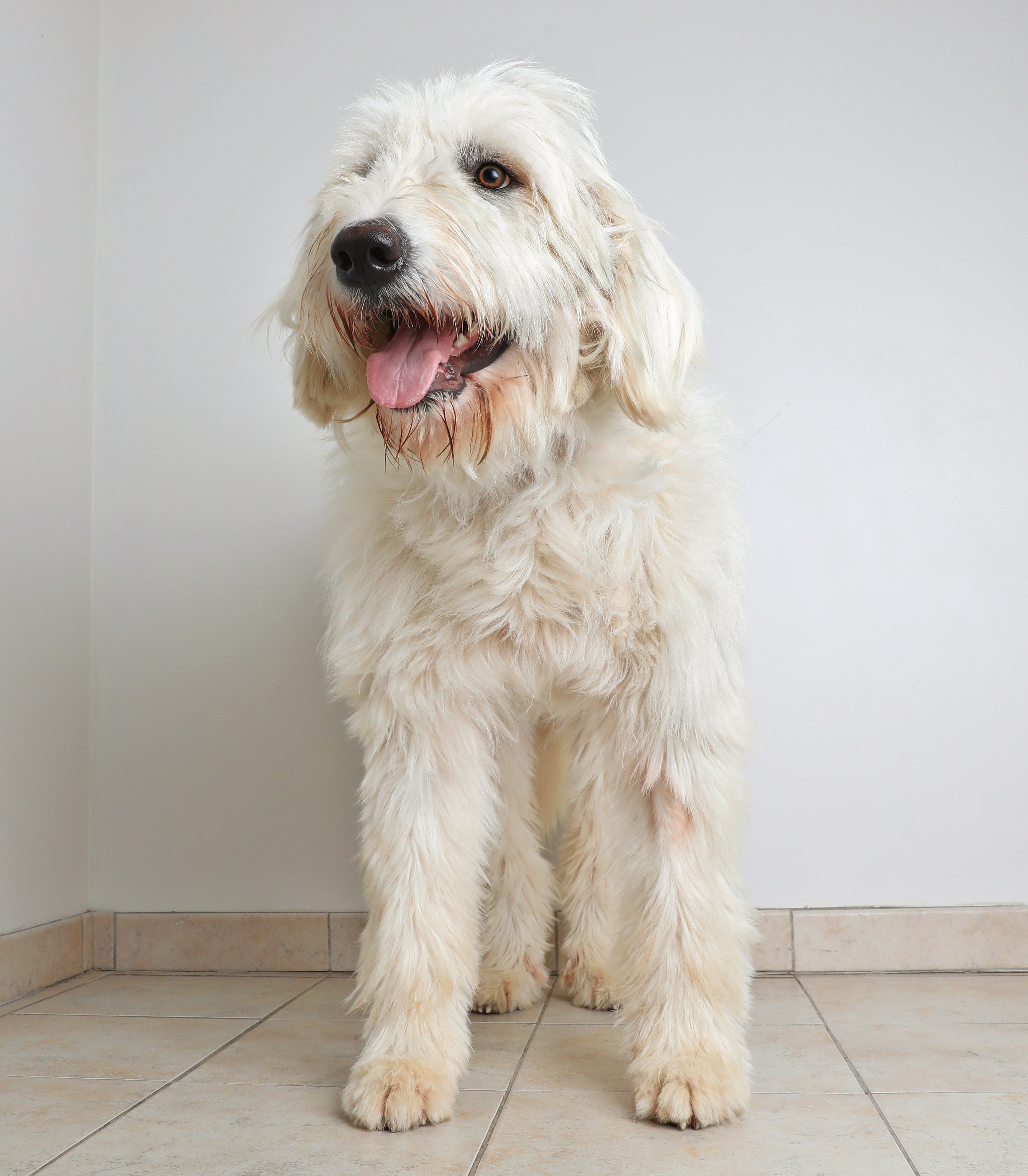 Pyredoodle Mixed Dog Breed Pictures