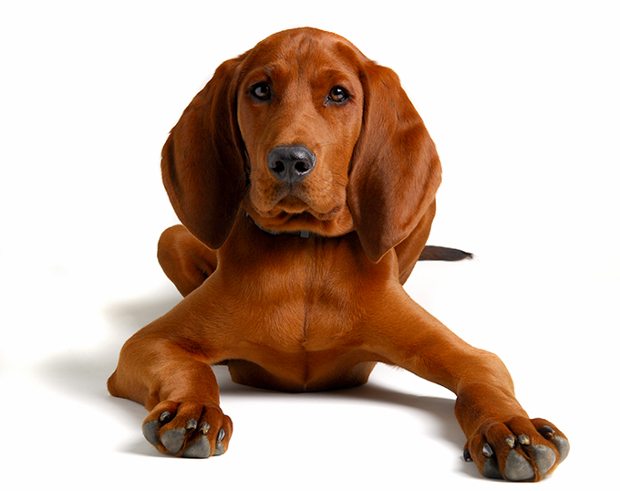 Image result for redbone coonhound