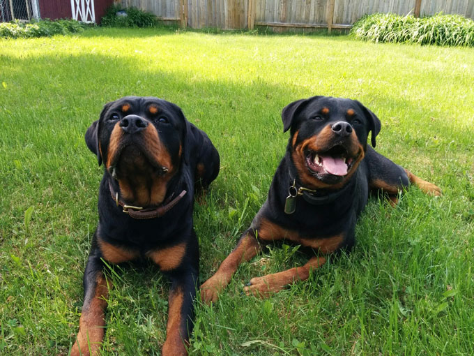 Image result for 2 Rottweilers