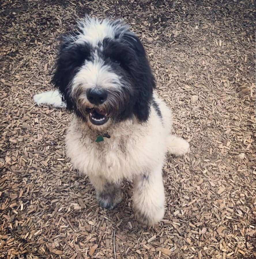Saint Berdoodle Mixed Dog Breed Pictures