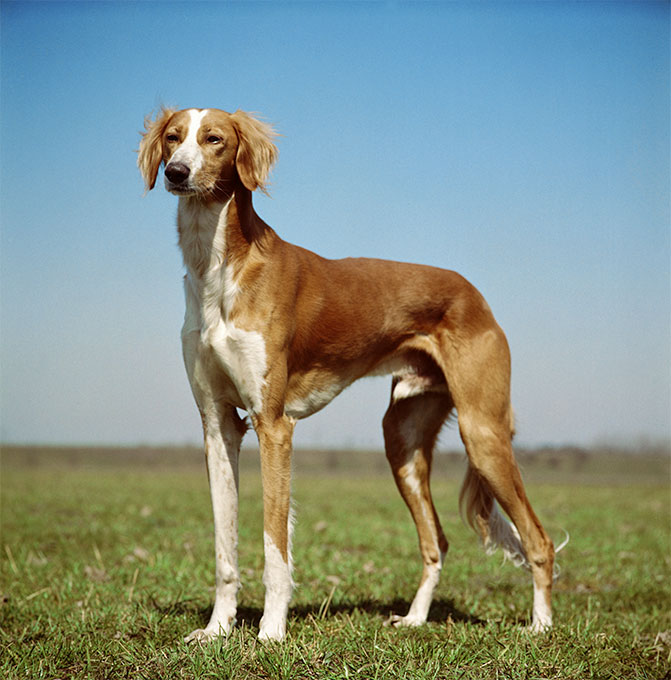 Saluki Dog Breed Information, Pictures, Characteristics