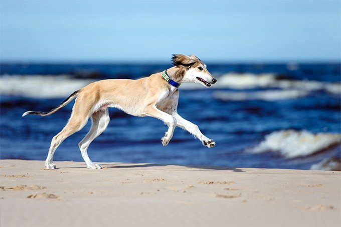 Saluki Dog Breed Information, Pictures, Characteristics & Facts ...