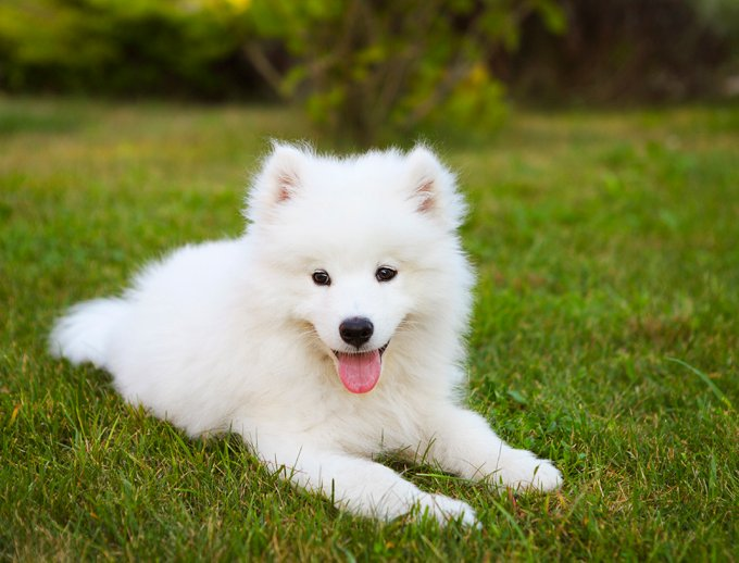 samoyed dog breed information, pictures, characteristics & facts