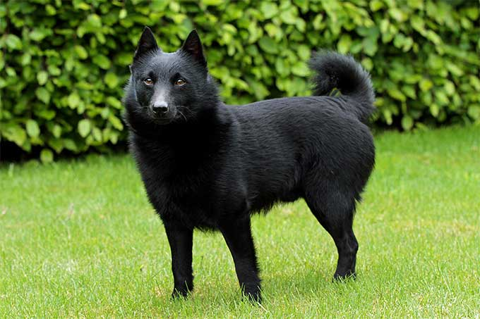 schipperke dog breed information pictures characteristics facts