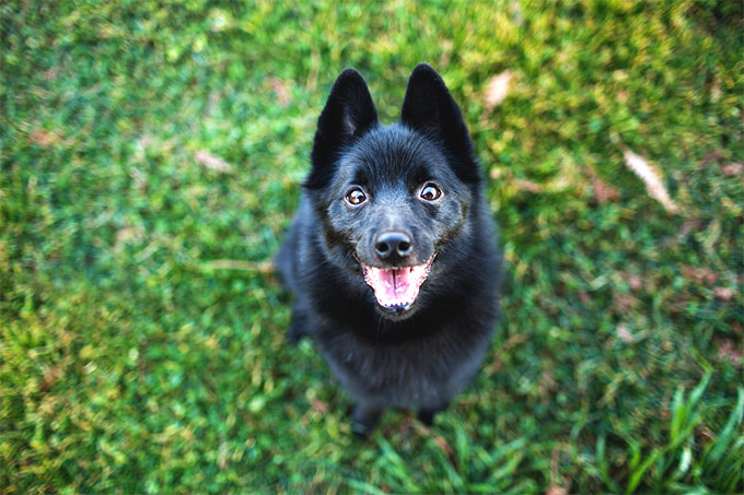 f95f56ec32 Schipperke Dog Breed Information, Pictures, Characteristics & Facts ...