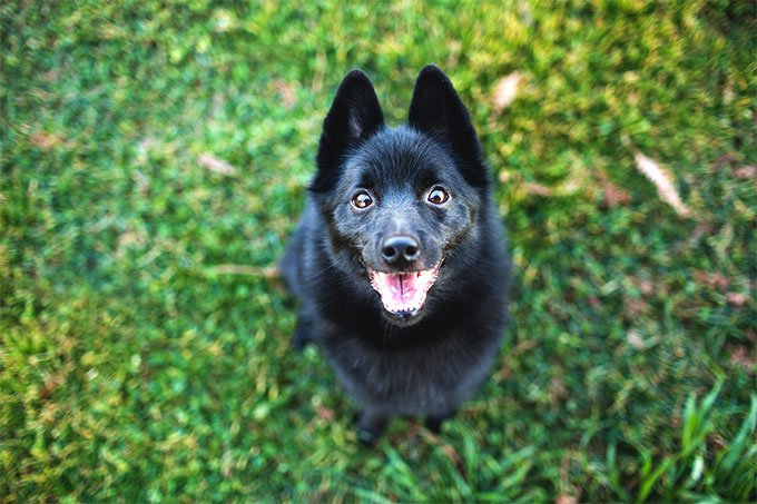 Schipperke Dog Breed Picture