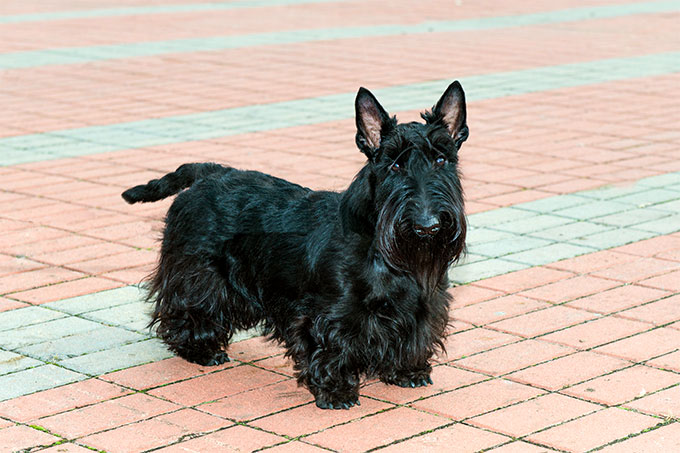 An independent and stubborn character, the Scottish Terrier dog breed is  also quite sensitive to praise and blame. Independent, intelligent, and  hilarious ...