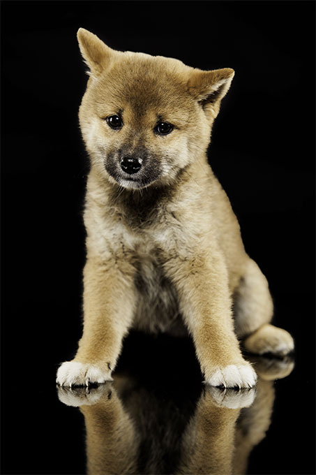 Japanese dog breed that looks like a fox 11