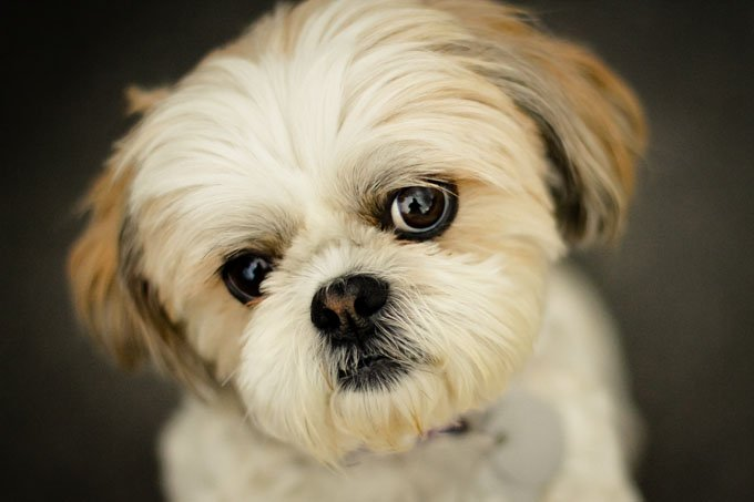 Image result for shih tzu
