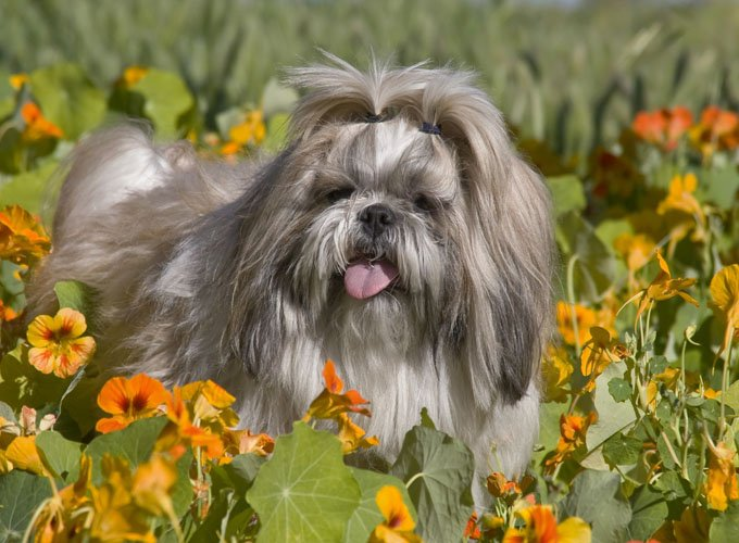 Shih Tzu Dog Breed Information, Pictures, Characteristics ...
