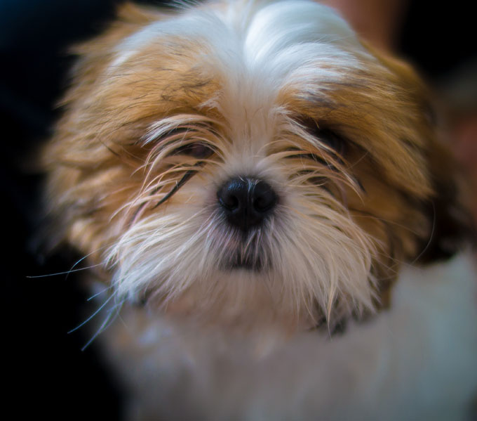 shih tzu dogs breeds shih tzu dog breed information pictures characteristics 5002