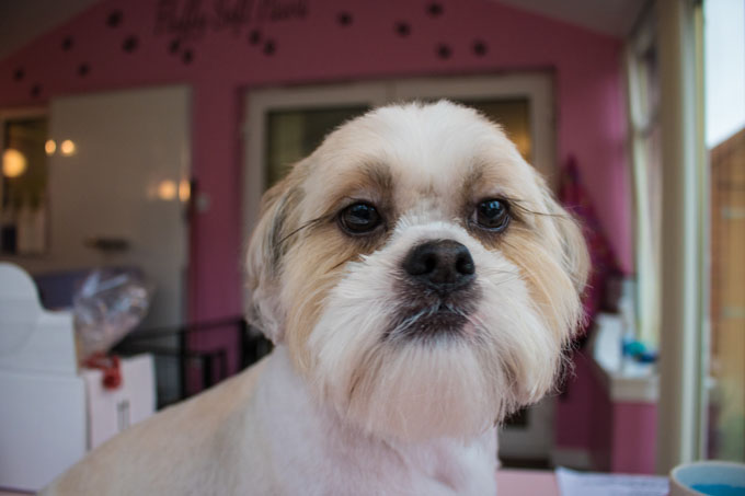 shih tzu photos pictures shih tzus shih tzu dog breed information pictures characteristics