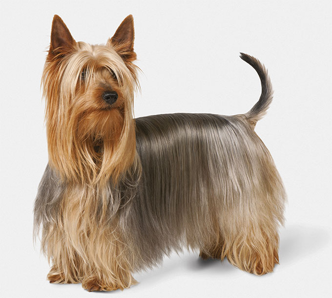 Silky Terrier Dog Breed Information Pictures Characteristics