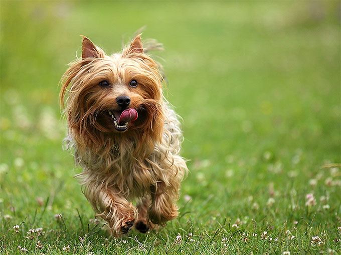 silky dog. silky terrier dog breed information, pictures, characteristics .