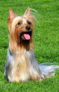 silky dog. silky terrier dog breed picture