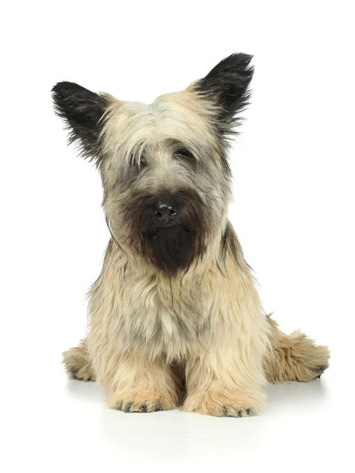 Skye Terrier Dog Breed Picture