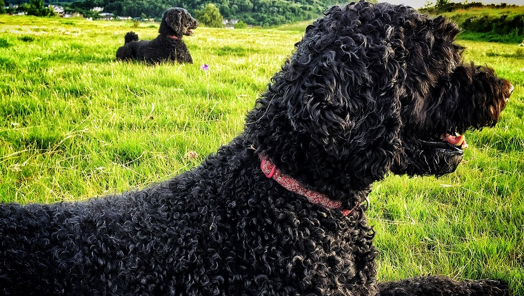 36 (Tied). Portuguese Water Dog