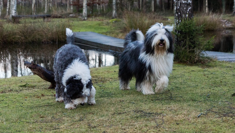45 (Tied). Bearded Collie