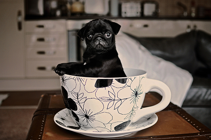 Teacup Puppies - Dogtime
