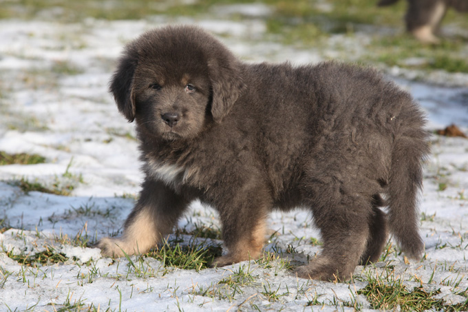 Tibetan Mastiff Dog Breed Information Pictures Characteristics