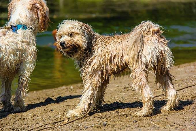 tibetano terrier tibetan terrier dog breed information pictures 1063