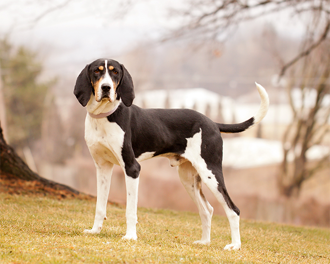 Treeing Walker Coonhound Dog Breed Picutre