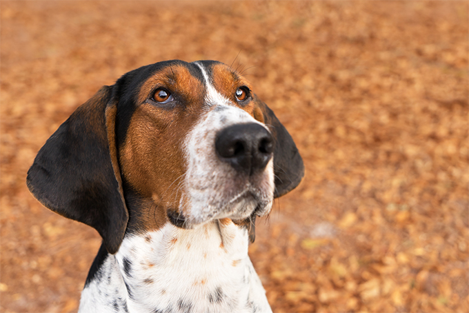 Image gallery treeing walker for Puppy dog walker