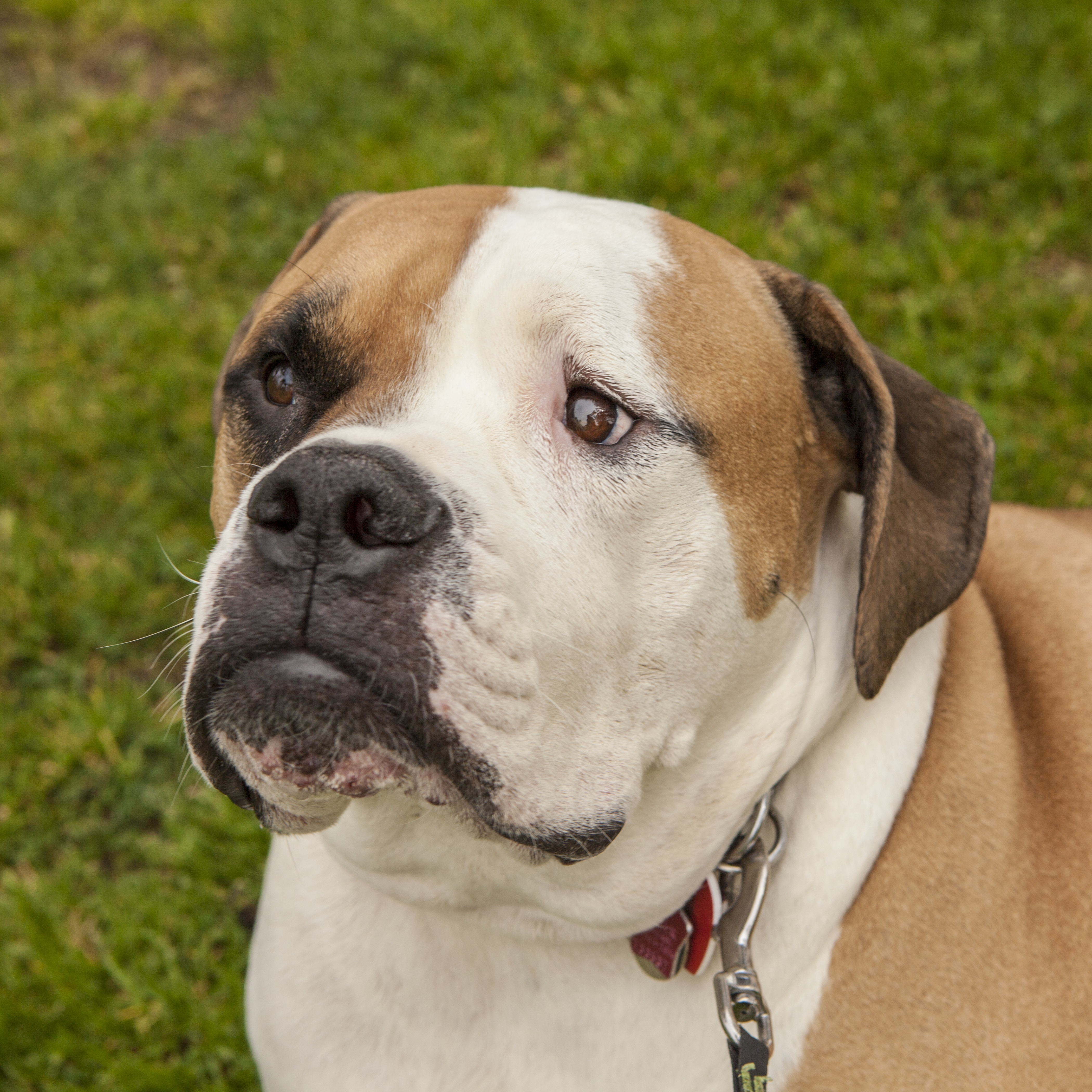 Valley Bulldog Mixed Dog Breed Pictures, Characteristics ...