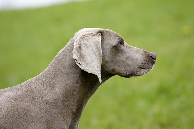 Weimaraner Breed Information Pictures Weimaraner Html