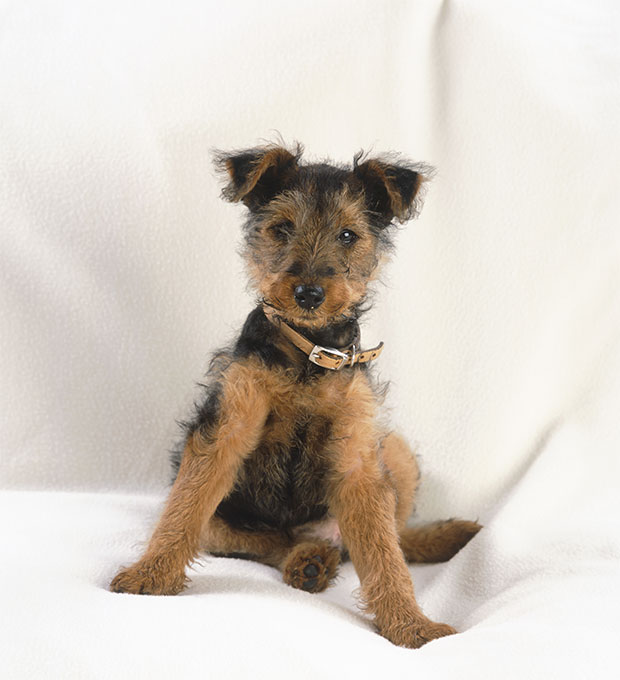 Welsh Terrier Dog Breed Picture