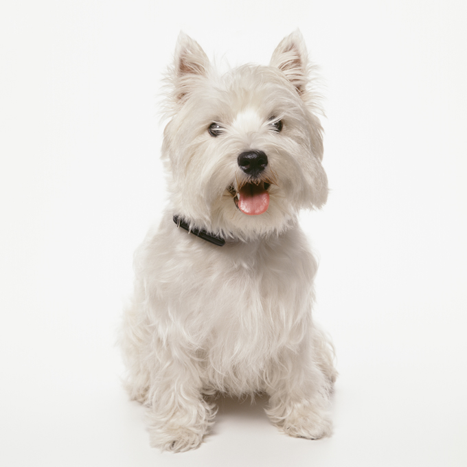 West Highland White Terrier Dog Breed Information, Pictures