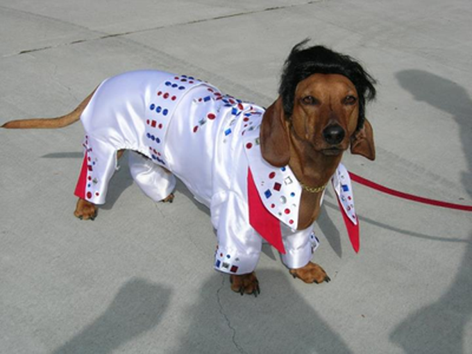 The King Lives Wiener Dog
