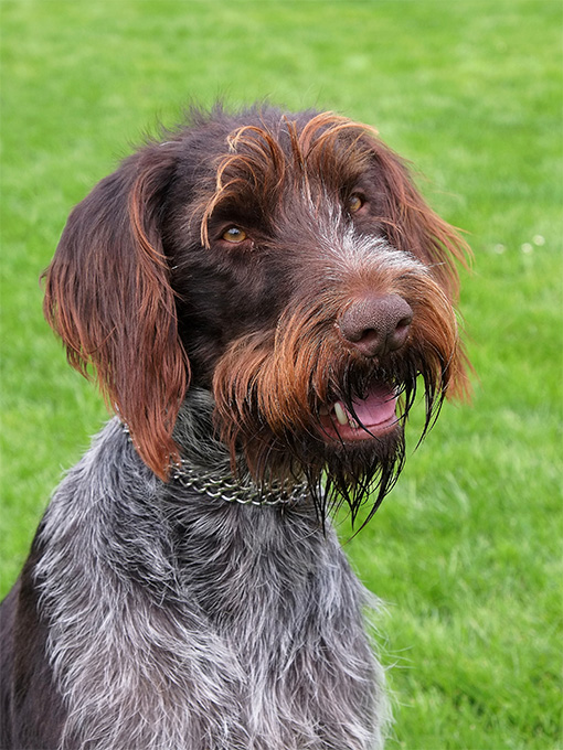 Wirehaired Pointer Griffon Dog Breed Information, Pictures ...